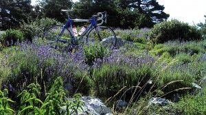 Vélo en Lavande
