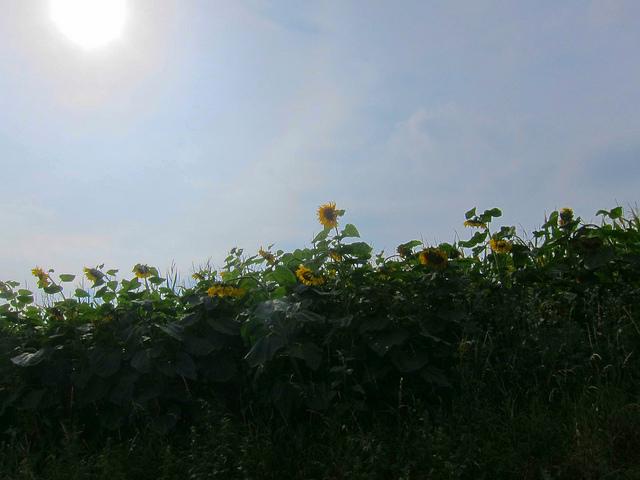 Sonne-Blumen